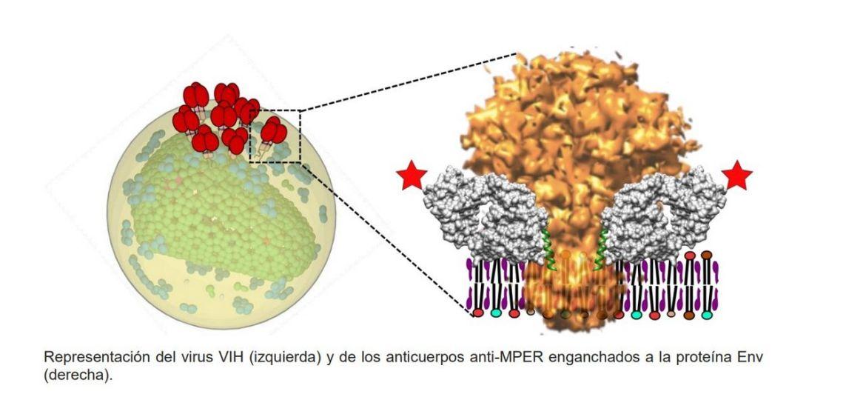 desvelada la interacción entre el 'talón de aquiles' del vih y los anticuerpos más eficaces contra el virus.