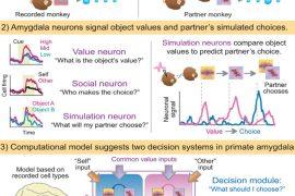 """las neuronas """"mindreading"""", células cerebrales capaces de tener expectativas sobre el comportamiento ajeno"""