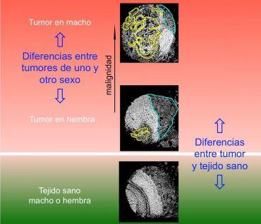 irb, identifican genes relacionados con el diferente grado de agresividad del cáncer según el sexo