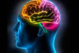 csic -el cerebro sigue generando neuronas y células glía