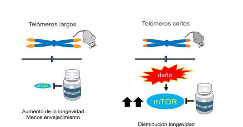 la rapamicina perjudica si los telómeros son cortos