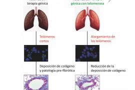 cnio, terapia génica contra la fibrosis pulmonar asociada al envejecimiento