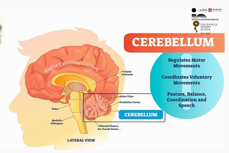 el papel del cerebelo en los trastornos del desarrollo neuronal