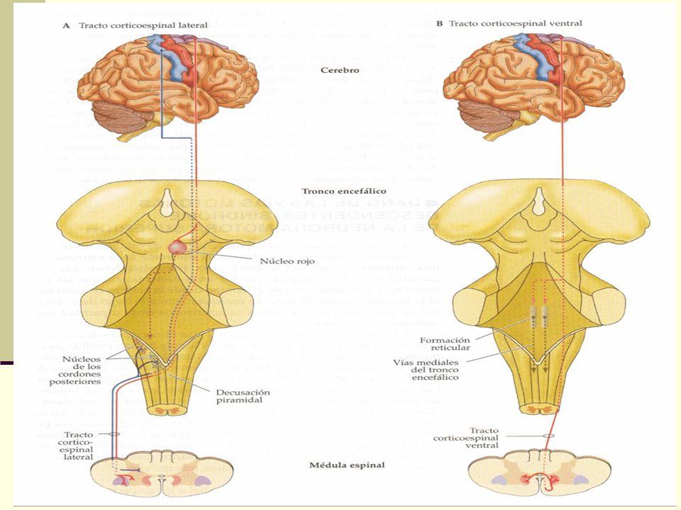 El asombroso cerebro el tracto piramidal2