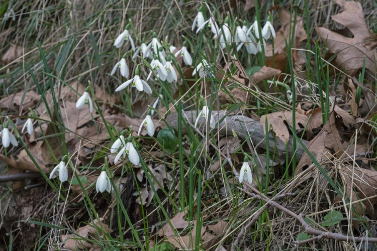 Last view of Galanthus reginae-olgae, with the airport beckoning. Taygetos, 08/11/15.