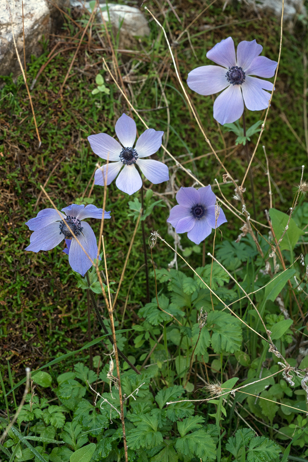 An autumn-flowering form of Anemone coronaria. 10/12/15.