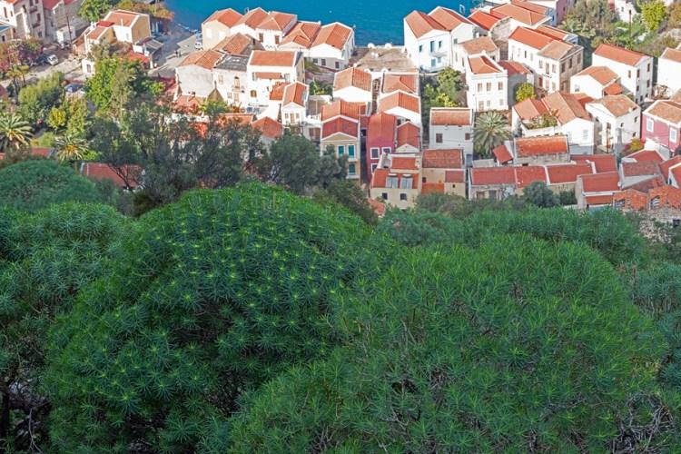 Flowering Euphorbia dendroides above Kastellorizo town.