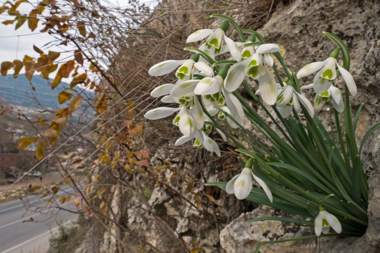 A spectacular clump of Galanthus cilicicus, with green markings on the outer segments, growing from a pocket in the west-facing limestone cliff. Near Mersin, 18/12/15.