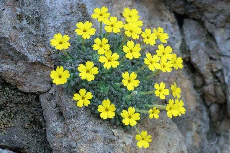 Dionysia aretioides, NW Iran, 20/2/16.