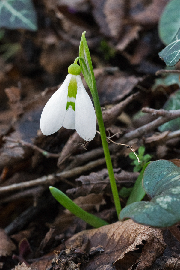 A tiny plant of Galanthus fosteri, only 5cm tall. Near Amasya, 7/3/16.