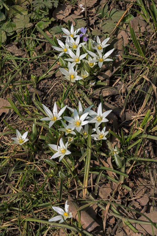 Ornithogalum hyrcanum. Southern Azerbaijan, 16/2/16.