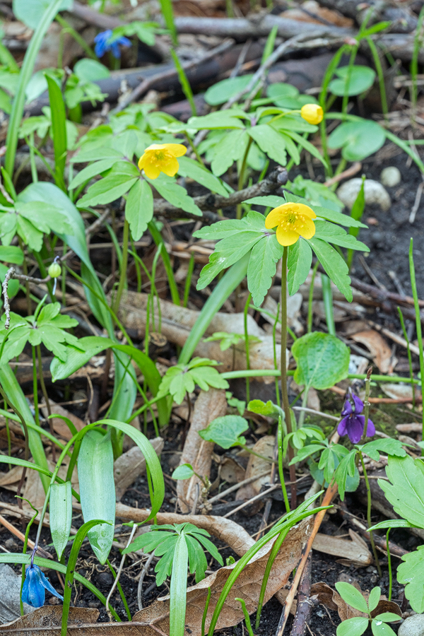 Anemone ranunculoides, flowering with Scilla siberica and Viola sp., Kabardino-Balkaria, 30/3/16.