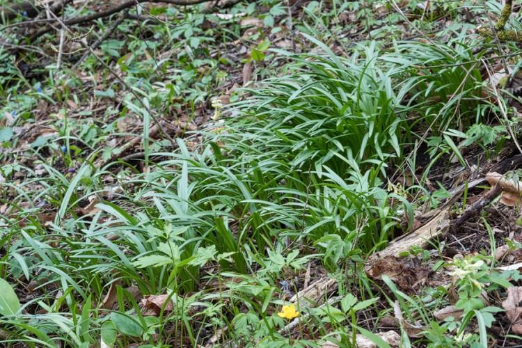 Galanthus 'cabardensis', near Nalchik, 31/3/16.
