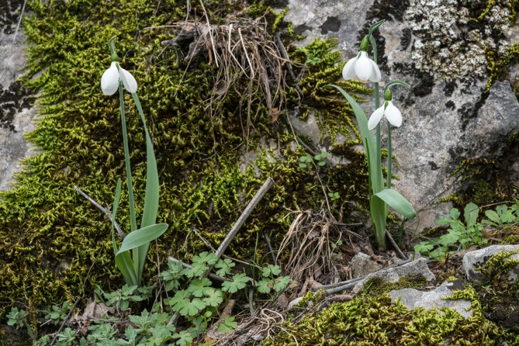 Galanthus gracilis, near Izmir, Turkey, 9/3/16. Most plants were growing singly, or in small clumps. Often with twin scapes.
