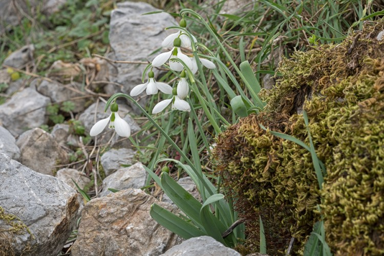 Galanthus gracilis, near Izmir, Turkey, 9/3/16. Variation in flower shape and inner segment markings.