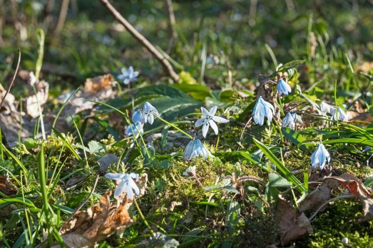 Scilla monanthos (syn. Scilla winogradowii), Abkhazia, 5/4/16.