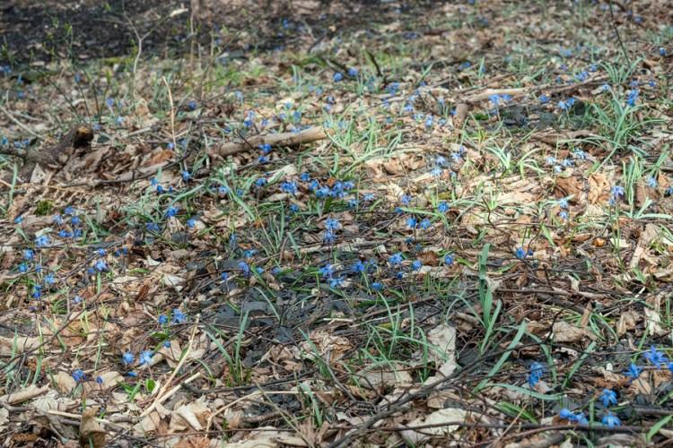 Scilla siberica, Ingushetia, 1/4/16.