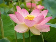 La floraison du lotus représente l'être complètement accompli.