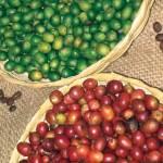 Coffee beans —Lena Johannessen