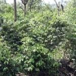 Coffee field near La Antigua
