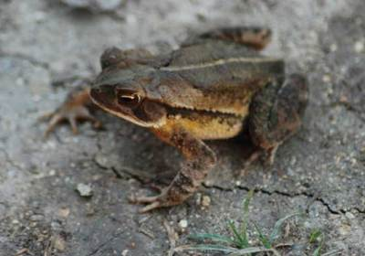 The lowly toad enjoys a place of honor in Mayan culture