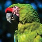 Military macaw (Ara militaris), Macaw Mountain Bird Park & Nature Reserve, Copán, Honduras (Nicholas Hellmuth)