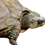 Sacred turtles in Mayan art and iconography