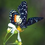 Butterfly, resident of the Yaxhá Lagoon. (photo by Thor Janson)