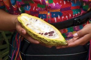 Cacao pod (photo by Thor Janson)