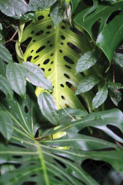 Leaves of the Monstera deliciosa (photo by Daniela de Costa)