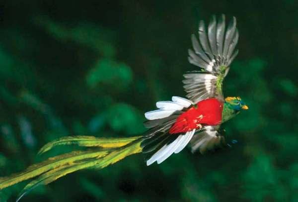 Resplendent quetzal (Thor Janson)