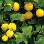 Yellow lemons on tree