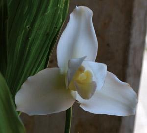 Guatemala national flower