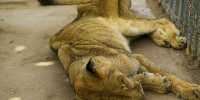 Un lion meurt de Covid-19 dans un zoo indien