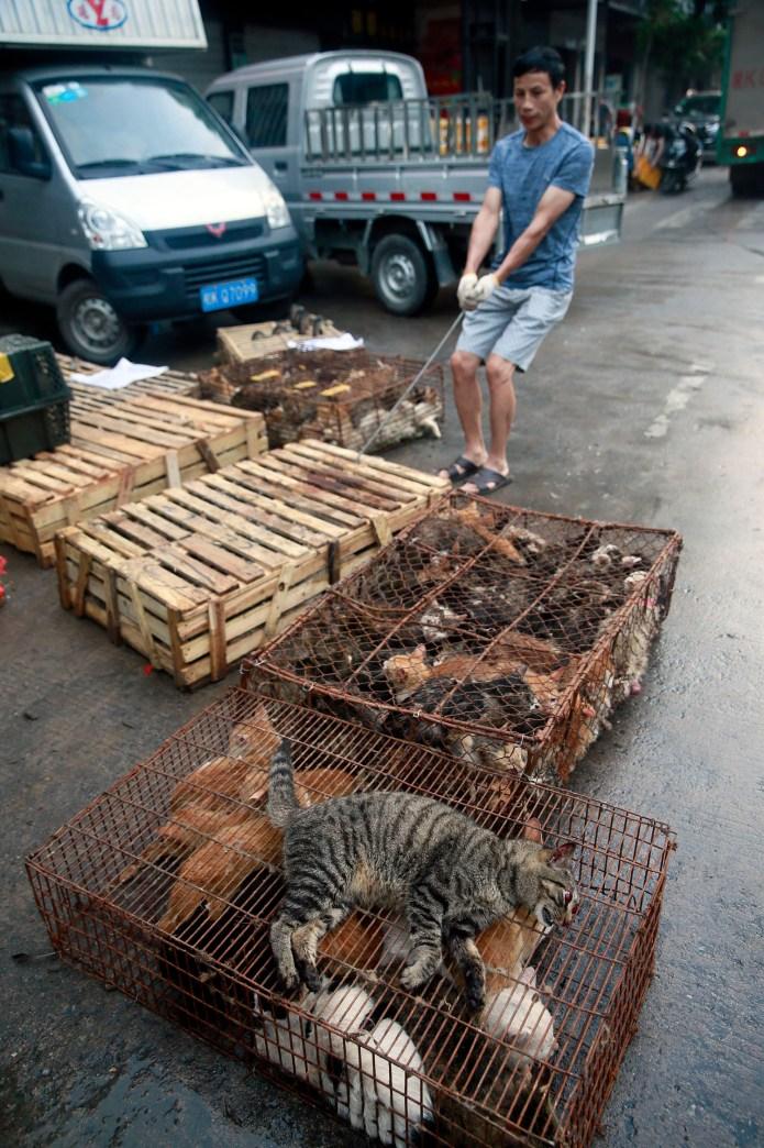 中國動保人士推估,每年動輒上千萬隻貓流入黑色產業鏈。 (美聯社)