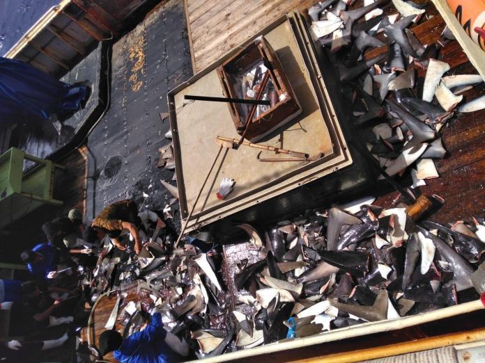 """""""隆興629""""被指控非法捕撈鯊魚,甲板上堆滿剛割下的魚鰭。 (APIL提供)"""