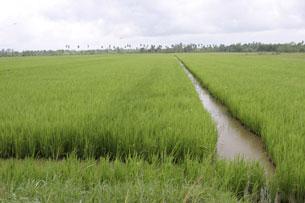 Ruộng lúa mênh mông ở đồng bằng sông Cửu Long. RFA