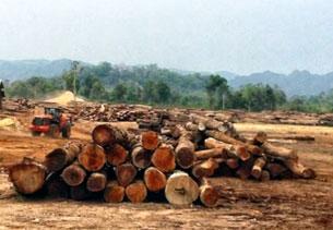 Những bãi cây đợi để chuyển vào Việt Nam. RFA capture/EIA video