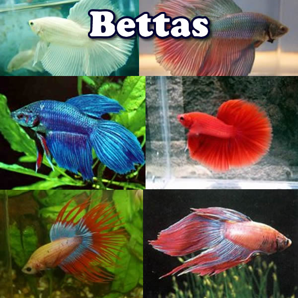 Bettas