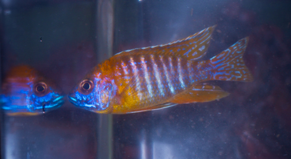 Red shoulder peacock african cichlid 2 3 inches for Archer fish for sale
