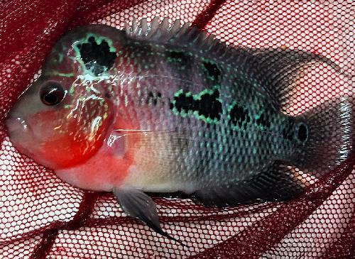 Golden pearl flowerhorn cichlid 5 6 inch aquarium fish for Flowerhorn fish for sale