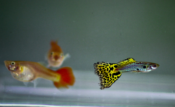 Yellow Cobra Guppy (Trio) | Aquarium Fish For Sale