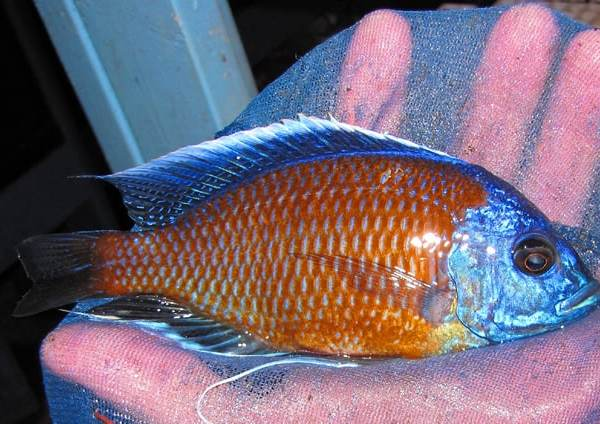 Kadango Borleyi African Cichlids (Breeding Pair)