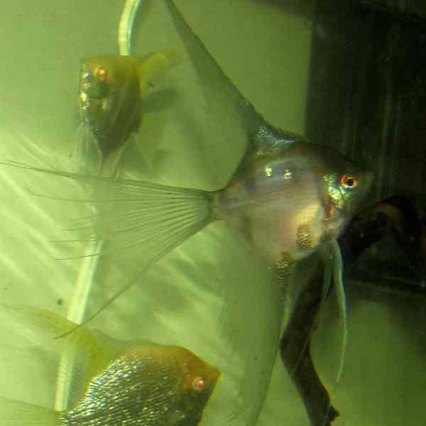 Blue Blusher Veil Angelfish
