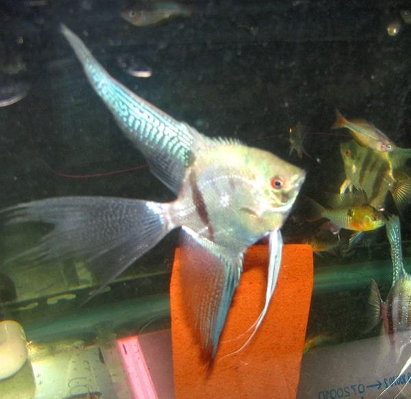 Blue Veil Angelfish