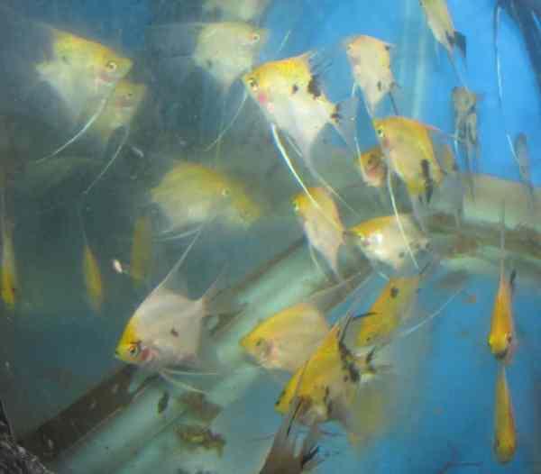 Koi Angelfish
