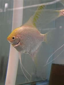 Pearlscale Gold Angelfish