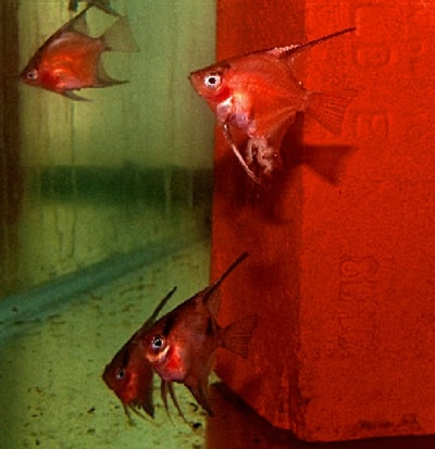 75 % - 95% Solid Red Select Angelfish (Quarter Body Sized)