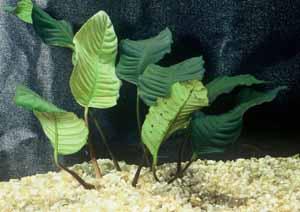 Anubias Coffeefolia