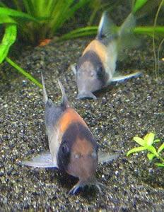 Adolphi Cory Catfish